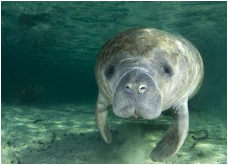 Manatee swimming in Blue Spring